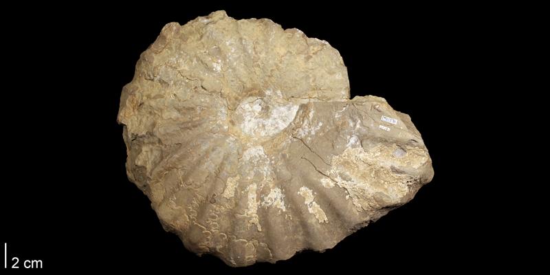 <i>Metoicoceras mosbyense</i> from the Cenomanian Colorado Shale (Mosby Sandstone) of Montana.