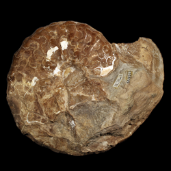 Metoicoceras swallovi