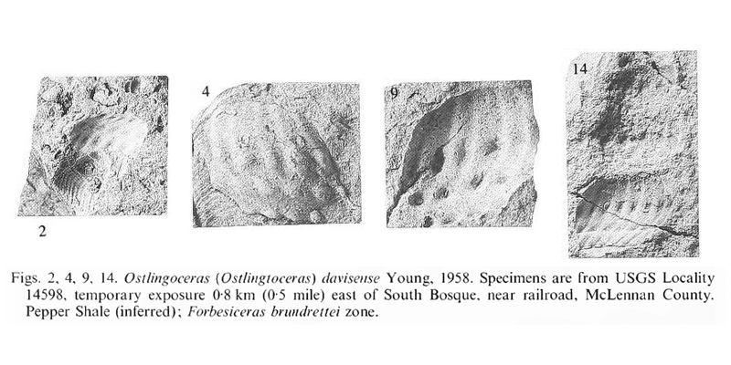 Specimens of <i>Mariella davisense</i> (as <i>Ostlingoceras davisense</i>). See original caption for additional details. Image modified from pl. 15, figs. 2, 4, 9, and 14 in Kennedy and Cobban (1990a in <i>Palaeontology</i>), made available through Biodiversity Heritage Library via a CC BY-NC-SA 4.0 license.
