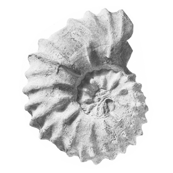 Paraconlinoceras