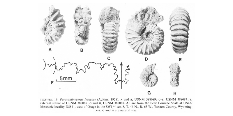 Specimens of <i>Paraconlinoceras leonense</i>. See original caption for additional details. Image modified from text-fig 19 in Kennedy and Cobban (1990a in <i>Palaeontology</i>), made available through Biodiversity Heritage Library via a CC BY-NC-SA 4.0 license.