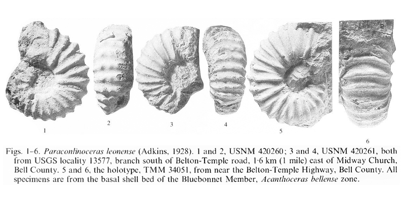 Specimens of <i>Paraconlinoceras leonense</i>. See original caption for additional details. Image modified from pl. 6, figs 1-6 in Kennedy and Cobban (1990a in <i>Palaeontology</i>), made available through Biodiversity Heritage Library via a CC BY-NC-SA 4.0 license.