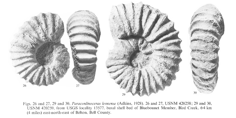 Specimens of <i>Paraconlinoceras leonense</i>. See original caption for additional details. Image modified from pl. 9, figs 26, 27, 29, and 30 in Kennedy and Cobban (1990a in <i>Palaeontology</i>), made available through Biodiversity Heritage Library via a CC BY-NC-SA 4.0 license.