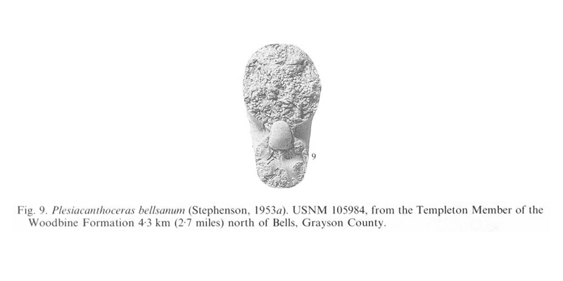 Specimen of <i>Plesiacanthoceras bellsanum</i>. See original caption for additional details. Image modified from pl. 12, fig 9 in Kennedy and Cobban (1990a in <i>Palaeontology</i>), made available through Biodiversity Heritage Library via a CC BY-NC-SA 4.0 license.