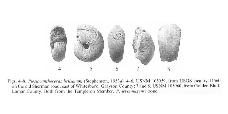Specimens of <i>Plesiacanthoceras bellsanum</i>. See original caption for additional details. Image modified from pl. 2, figs 4-8 in Kennedy and Cobban (1990a in <i>Palaeontology</i>), made available through Biodiversity Heritage Library via a CC BY-NC-SA 4.0 license.