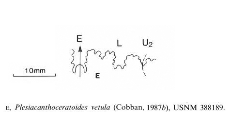Suture pattern of <i>Plesiacanthoceratoides vetula</i>. See original caption for additional details. Image modified from text-fig. 24e in Kennedy and Cobban (1990a in <i>Palaeontology</i>), made available through Biodiversity Heritage Library via a CC BY-NC-SA 4.0 license.