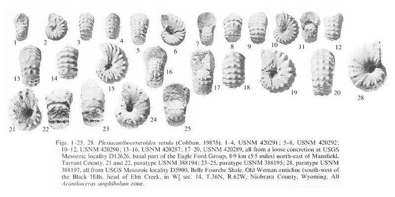 Specimens of <i>Plesiacanthoceratoides vetula</i>. See original caption for additional details. Image modified from pl. 9, figs 1-25, 28 in Kennedy and Cobban (1990a in <i>Palaeontology</i>), made available through Biodiversity Heritage Library via a CC BY-NC-SA 4.0 license.