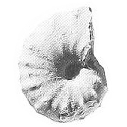 Plesiacanthoceratoides