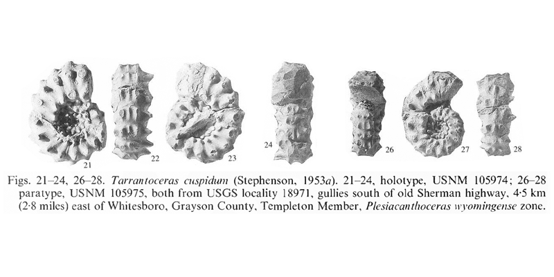 Holotype (USNM 105974) and other specimens of <i>Tarrantoceras cuspidum</i>. See original caption for additional details. Image modified from pl. 14, figs 21-24, 26-28 in Kennedy and Cobban (1990a in <i>Palaeontology</i>), made available through Biodiversity Heritage Library via a CC BY-NC-SA 4.0 license.