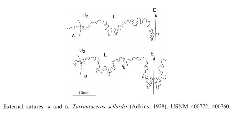 Suture pattern of <i>Tarrantoceras sellardsi</i>. Image modified from figs 23a and 23b in Kennedy and Cobban (1990a in <i>Palaeontology</i>), made available through Biodiversity Heritage Library via a CC BY-NC-SA 4.0 license.