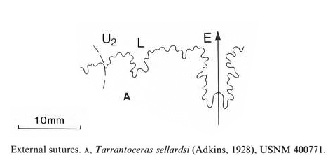 Suture pattern of <i>Tarrantoceras sellardsi</i>. Image modified from fig. 6a in Kennedy and Cobban (1990a in <i>Palaeontology</i>), made available through Biodiversity Heritage Library via a CC BY-NC-SA 4.0 license.