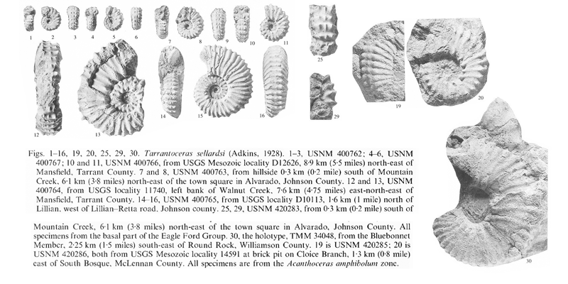 Specimens of <i>Tarrantoceras sellardsi</i>. See original caption for additional details. Image modified from pl. 14 in Kennedy and Cobban (1990a in <i>Palaeontology</i>), made available through Biodiversity Heritage Library via a CC BY-NC-SA 4.0 license.