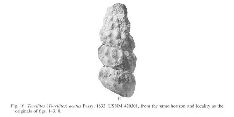 Specimen of <i>Turrilites acutus</i>. See original caption for additional details. Image modified from pl. 12, fig. 10 in Kennedy and Cobban (1990a in <i>Palaeontology</i>), made available through Biodiversity Heritage Library via a CC BY-NC-SA 4.0 license.