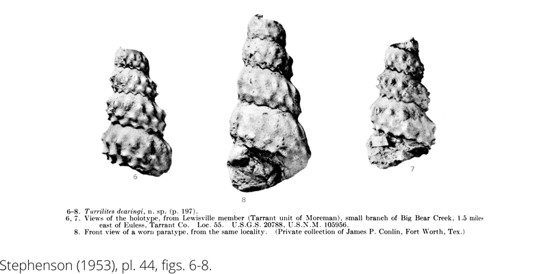 <i> Turrilites dearingi </i> from the Cenomanian Woodbine Fm. of Texas (Stephenson 1953).