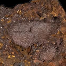 Brachidontes arlingtonanus