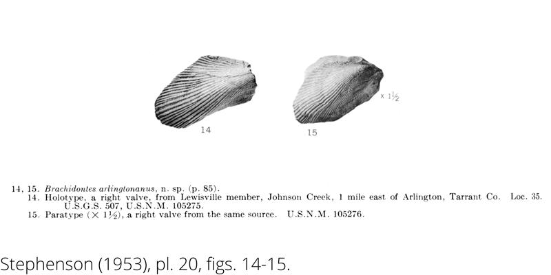 <i> Brachidontes arlingtonanus </i> from the Cenomanian Woodbine Fm. of Texas (Stephenson 1953).