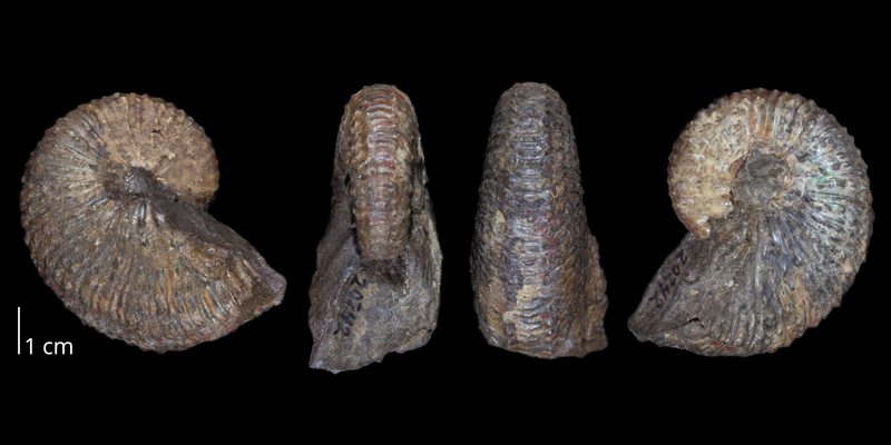 Lectotype of <i>Hoploscaphites nebrascensis</i> (USNM 20242) (macroconch). Original unmodified images provided by courtesy of the Smithsonian NMNH and adapted and presented here under a Creative Commons BY-NC 4.0 license (NMNH GUID http://n2t.net/ark:/65665/3cec1105d-09ac-4811-b027-7fce3304b6c0).
