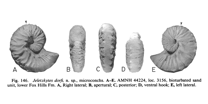 <i>Hoploscaphites dorfi</i> (AMNH 44224) (microconch). See original caption for additional details. Image modified from figs. 146A-E in Landman and Waage (1993 in <i>Bulletin of the American Museum of Natural History</i>, no. 215) and used with permission.