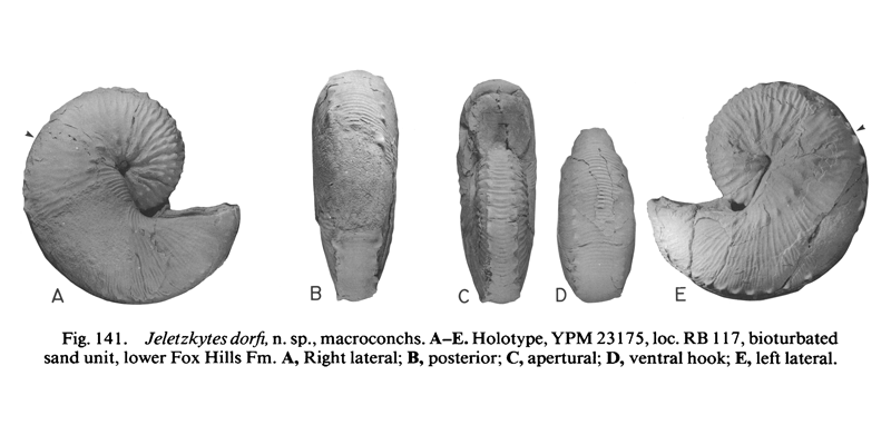 Holotype of <i>Hoploscaphites dorfi</i> (YPM 223175) (macroconch). See original caption for additional details. Image modified from figs. 141A-E in Landman and Waage (1993 in <i>Bulletin of the American Museum of Natural History</i>, no. 215) and used with permission.