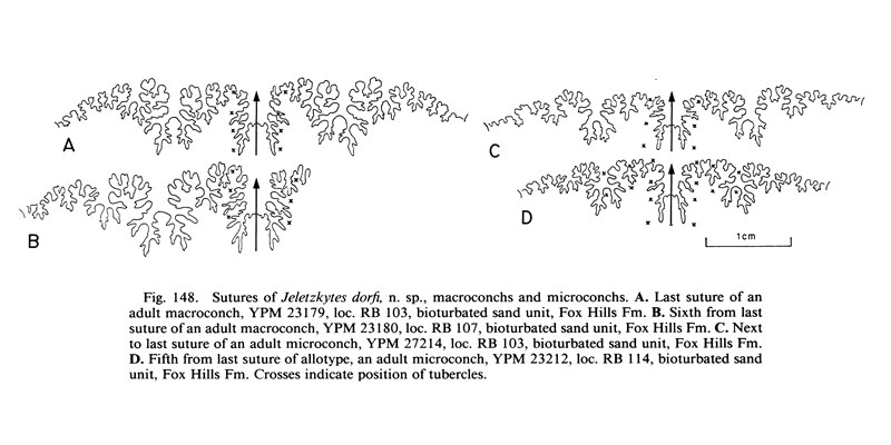 Sutures of <i>Hoploscaphites dorfi</i>. See original caption for additional details. Image modified from fig. 148 in Landman and Waage (1993 in <i>Bulletin of the American Museum of Natural History</i>, no. 215) and used with permission.