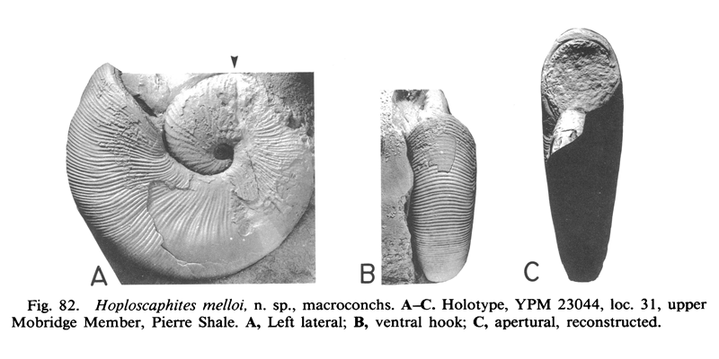 Holotype of <i>Hoploscaphites melloi</i> (YPM 23044) (macroconch). See original caption for additional details. Image modified from fig. 82A-C in Landman and Waage (1993 in <i>Bulletin of the American Museum of Natural History</i>, no. 215) and used with permission.