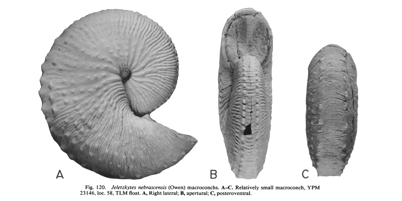 <i>Hoploscaphites nebrascensis</i> (USNM 20242) (macroconch). See original caption for additional details. Image modified from figs. 120A-C in Landman and Waage (1993 in <i>Bulletin of the American Museum of Natural History</i>, no. 215) and used with permission.