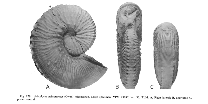 <i>Hoploscaphites nebrascensis</i> (USNM YPM 23687) (microconch). See original caption for additional details. Image modified from figs. 129A-C in Landman and Waage (1993 in <i>Bulletin of the American Museum of Natural History</i>, no. 215) and used with permission.