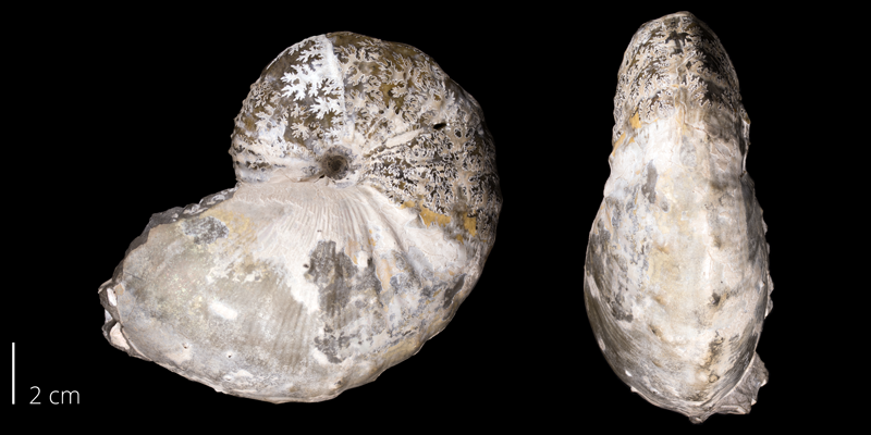<i>Hoploscaphites spedeni</i> from the Fox Hills Fm. (Trail City Member) of Corson County, South Dakota (YPM 23136).