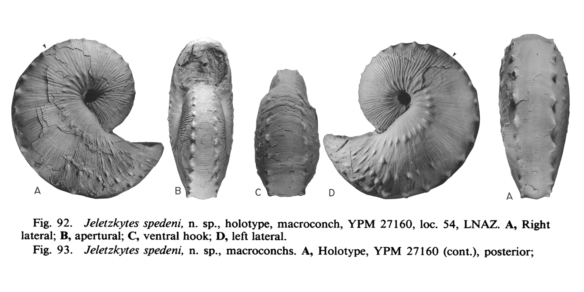 Holotype of <i>Hoploscaphites spedeni</i> (YPM 27160) (macroconch). See original caption for additional details. Image modified from figs. 92A-D and 93A in Landman and Waage (1993 in <i>Bulletin of the American Museum of Natural History</i>, no. 215) and used with permission.