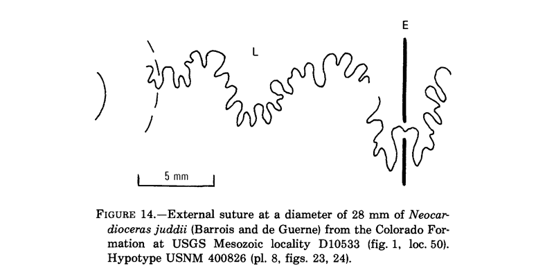 Suture patterns of <i>Neocardioceras juddii</i>. See original caption for additional details. Image modified from Fig. 14 in Cobban (1988 in <i>USGS Professional Paper</i> 1473; public domain).