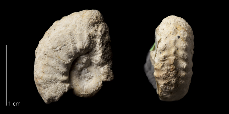Paratype of <i>Neocardioceras juddii barroisi</i> (BGS Zn9163). Specimen is from the Cenomanian or Turonian of Humble Point, England  (<i>Watinoceras Bed</i>). Image modified from those on the GB3D Type Fossil webpage (http://www.3d-fossils.ac.uk/fossilType.cfm?typSampleId=605781) and reposted here under the same Creative Commons BY-NC-SA license as the original images.