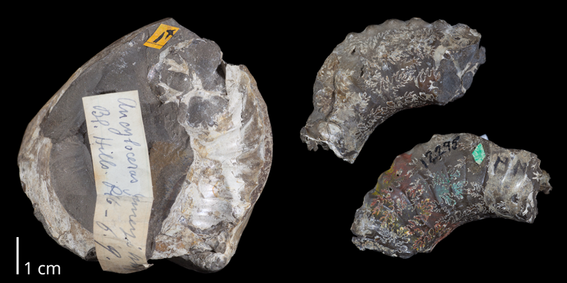 Holotype of <i>Exiteloceras jenneyi</i> (USNM 12295). Original unmodified images provided by courtesy of the Smithsonian NMNH and adapted and presented here under a Creative Commons BY-NC 4.0 license (NMNH GUID http://n2t.net/ark:/65665/377c0bdaf-00c4-4afc-86a0-3924694a87af).