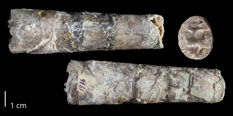 Holotype of <i>Baculites baculus</i> (USNM 1916). Original unmodified images provided by courtesy of the Smithsonian NMNH and adapted and presented here under a Creative Commons BY-NC 4.0 license (NMNH GUID http://n2t.net/ark:/65665/3626ee420-a7bb-43b7-9ab5-89ad91d902af).