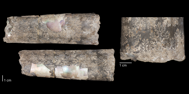 Holotype of <i>Baculites cuneatus</i> (USNM 108966). Original unmodified images provided by courtesy of the Smithsonian NMNH and adapted and presented here under a Creative Commons BY-NC 4.0 license (NMNH GUID http://n2t.net/ark:/65665/372f46c93-a2b9-49ea-93ea-e4a01141681b).