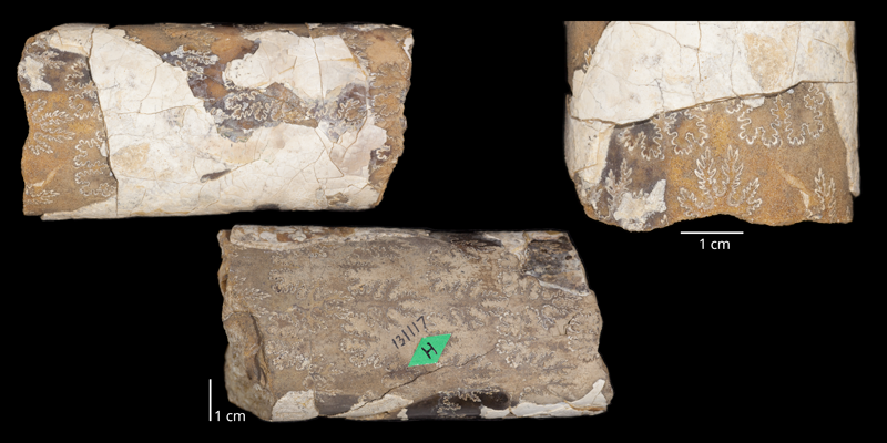 Holotype of <i>Baculites jenseni</i> (USNM 131117). Original unmodified images provided by courtesy of the Smithsonian NMNH and adapted and presented here under a Creative Commons BY-NC 4.0 license (NMNH GUID http://n2t.net/ark:/65665/33454146b-a133-45db-85e1-29e797d14455.