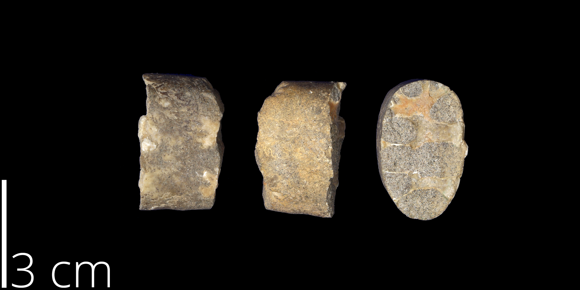 <i> Baculites obtusus </i> from the Late Cretaceous of New Mexico (UNM 981).