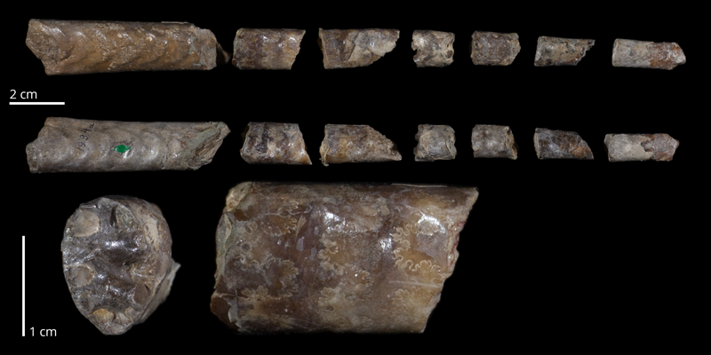 Holotype of <i>Baculites obtusus</i> (USNM 1934a). Original unmodified images provided by courtesy of the Smithsonian NMNH and adapted and presented here under a Creative Commons BY-NC 4.0 license (NMNH GUID http://n2t.net/ark:/65665/395003221-f7cb-49d6-9c45-e10c74d1b2a6).