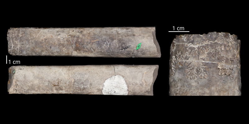 Holotype of <i>Baculites scotti</i> (USM 108929). Original unmodified images provided by courtesy of the Smithsonian NMNH and adapted and presented here under a Creative Commons BY-NC 4.0 license (NMNH GUID http://n2t.net/ark:/65665/3f9f32fed-bd13-4746-8f9a-956d0ebfed45).