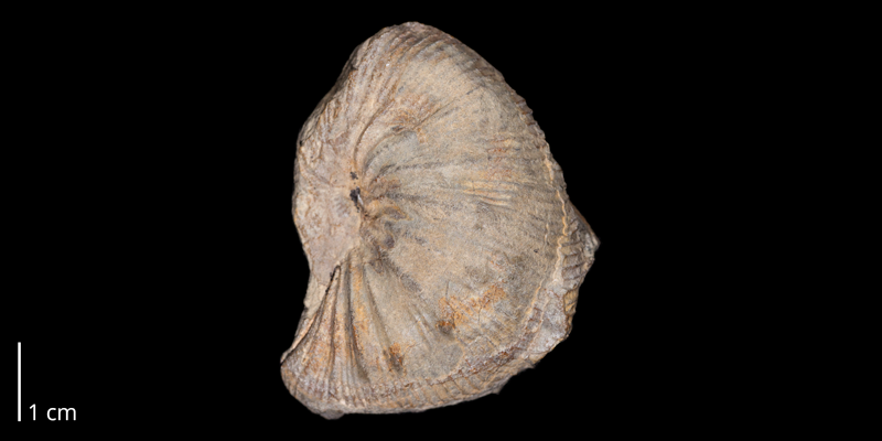 Holotype of <i>Desmoscaphites bassleri</i> (USNM 73358).  Original unmodified image provided by courtesy of the Smithsonian NMNH and adapted and presented here under a Creative Commons BY-NC 4.0 license (NMNH GUID http://n2t.net/ark:/65665/31ae53117-245e-467d-a9ae-eb5d7849e299).