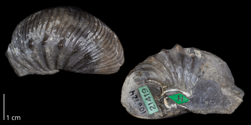 Holotype of <i>Desmoscaphites erdmanni</i> (USNM 106724).  Original unmodified images provided by courtesy of the Smithsonian NMNH and adapted and presented here under a Creative Commons BY-NC 4.0 license (NMNH GUID http://n2t.net/ark:/65665/30e524851-d5c7-4414-b51f-a304552d37da).