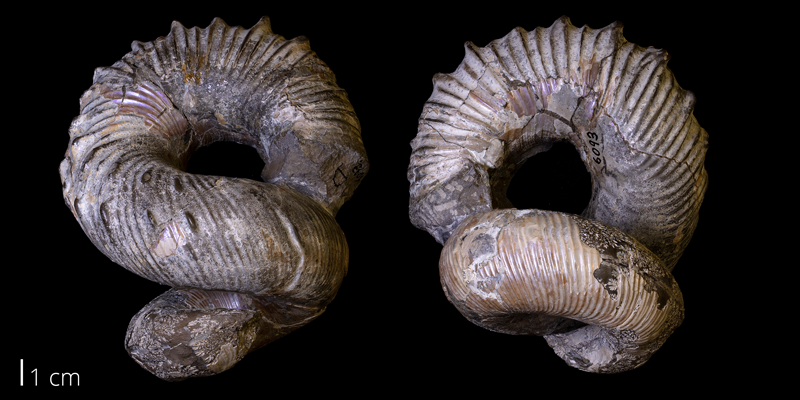 <i> Didymoceras nebracense </i> from the Pierre Shale of Custer County, South Dakota (YPM 006093).