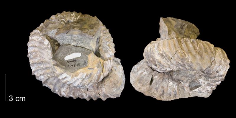 <i> Didymoceras stevensoni </i> from the Pierre Shale Fm. of Niobrara County, Wyoming (YPM 86706).