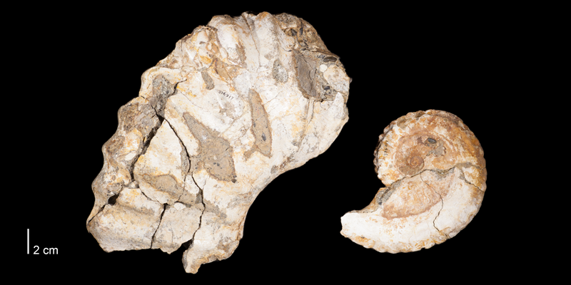 Holotype of <i>Dunveganoceras problematicum</i> (USNM 376917). Original unmodified images provided by courtesy of the Smithsonian NMNH and adapted and presented here under a Creative Commons BY-NC 4.0 license (NMNH GUID http://n2t.net/ark:/65665/38cb9cf96-4c1b-4b18-9cfb-5a6e31a02925).
