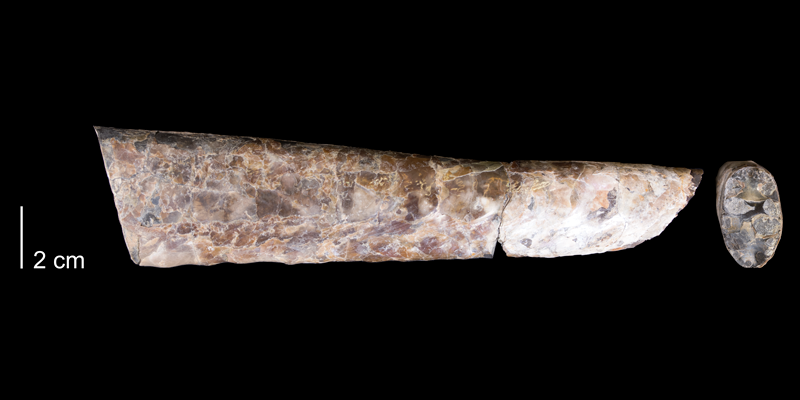 <i> Exiteloceras jenneyi </i> from the Maastrichtian Pierre Shale Fm. of Niobrara County, Wyoming (YPM 32685).