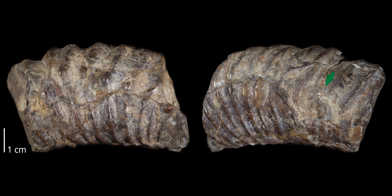 Holotype of <i>Didymoceras cheyennense</i> (USNM 470). Original unmodified images provided by courtesy of the Smithsonian NMNH and adapted and presented here under a Creative Commons BY-NC 4.0 license (NMNH GUID http://n2t.net/ark:/65665/31add8dac-cf4e-4ae3-bd59-42469841be30).