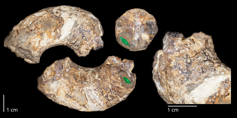 Holotype of <i>Didymoceras nebrascense</i> (USNM 469). Original unmodified images provided by courtesy of the Smithsonian NMNH and adapted and presented here under a Creative Commons BY-NC 4.0 license (NMNH GUID http://n2t.net/ark:/65665/3fac1e44b-6640-4962-9450-7f3c8fce2b8d).