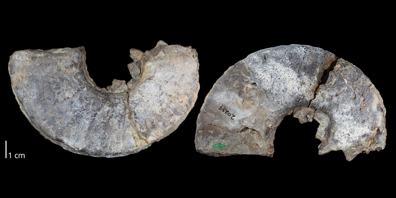 Holotype of <i>Prionocyclus macombi</i> (USNM 20259). Original unmodified images provided by courtesy of the Smithsonian NMNH and adapted and presented here under a Creative Commons BY-NC 4.0 license (NMNH GUID http://n2t.net/ark:/65665/3c21d9ee6-b675-4edc-99f0-c934d73e42f5).