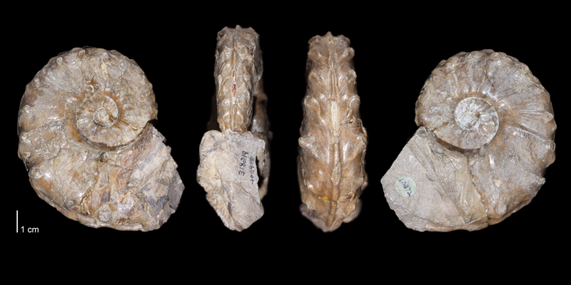 Holotype of <i>Collignoniceras praecox</i> (USNM 318219). Original unmodified images provided by courtesy of the Smithsonian NMNH and adapted and presented here under a Creative Commons BY-NC 4.0 license (NMNH GUID http://n2t.net/ark:/65665/3e6377fee-aa43-49cd-badf-23b1acc7c011).