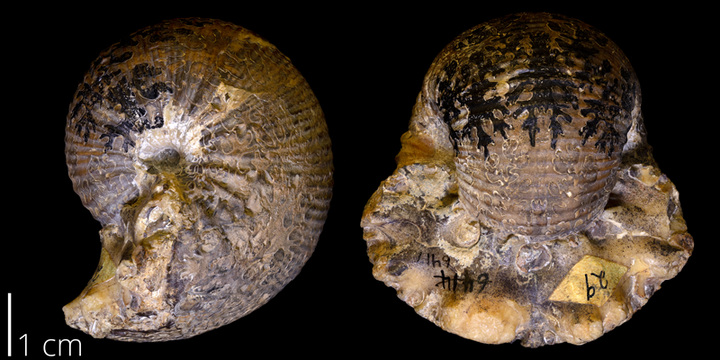 <i> Scaphites ventricosus </i> from the Frontier Fm. of Park County, Wyoming (YPM 006417).