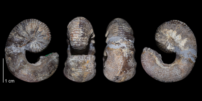 Holotype of <i>Scaphites ferronensis</i> (USNM 106759). Original unmodified images provided by courtesy of the Smithsonian NMNH and adapted and presented here under a Creative Commons BY-NC 4.0 license (NMNH GUID http://n2t.net/ark:/65665/3e1f18312-48a4-4ccc-8306-c00e7e18a785).